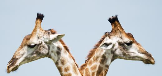 A photo of two similar looking giraffes standing back to back.