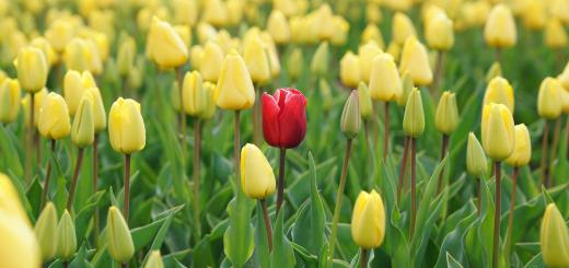 A field of yellow tulips with a red tulip in the middle of the field